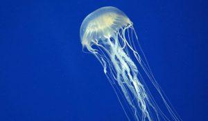 australian-box-jellyfish