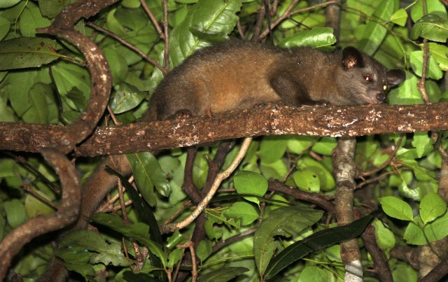 The Golden Dry-zone Palm Civet. Status: critically endangered.
