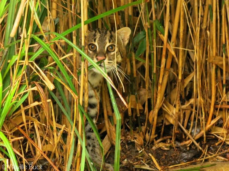 A Fishing Cat - Image Courtesy, Environmental Foundation Sri Lanka