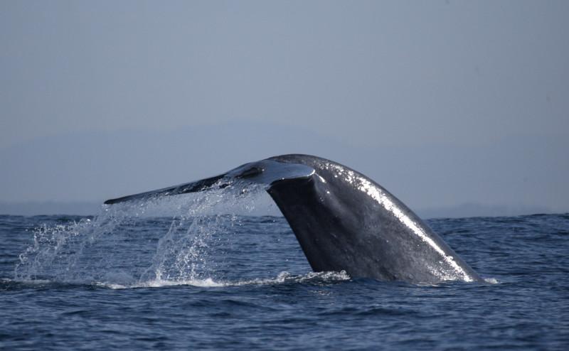 A blue whale seen off the Southern Coast of Sri Lanka. Image Courtesy, www.wildlifeworldwide.com