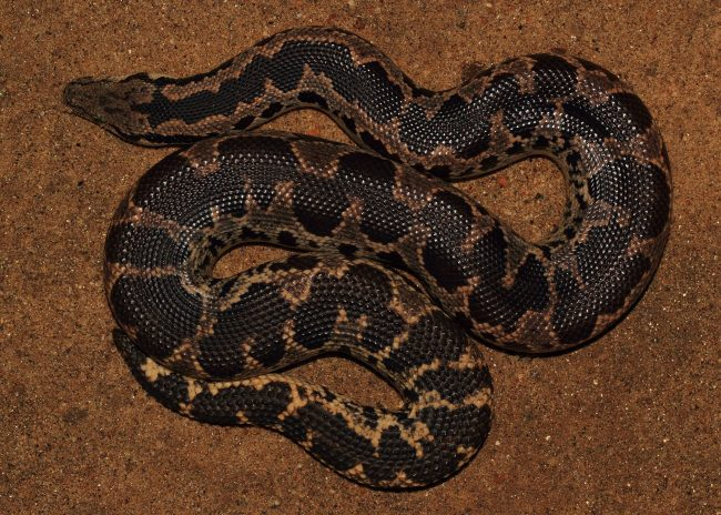 The Sand Boa, found mainly in the arid, semi-arid, and dry zones