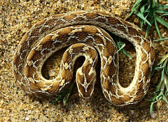 The saw-scaled viper