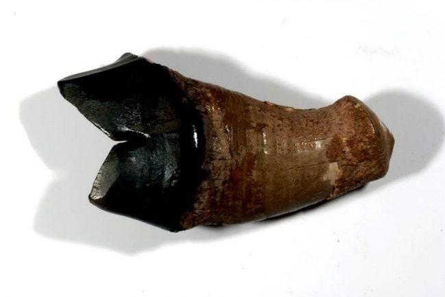 Left lower molar of Panthera leo sinhaleyus - the one fossil that points to the existence of the Ceylon lion. Image courtesy Kelum Manamendra-Arachchi