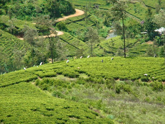 Tea plucking, Kotagala. Image courtesy writer